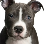pit_bull_puppy_s1