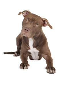 pit bull strict liability